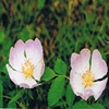 Dr Bach Wild Rose Bach Flower Remedy